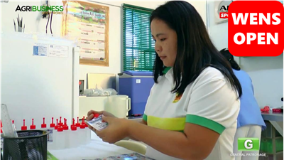 wensopen猪的人工授精在菲律宾-第一部分