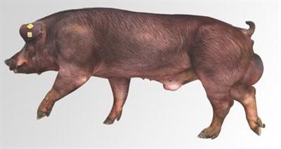 发挥公猪最佳使用年限,创造最佳效益