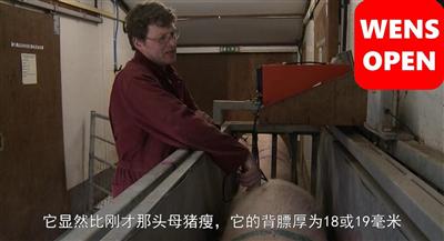 母猪称重和背膘测定(中文字幕)