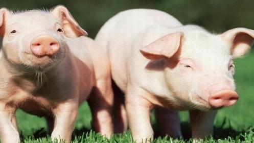 定制营养在生长育肥猪上的应用