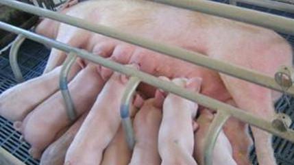 现代高产母猪的营养管理
