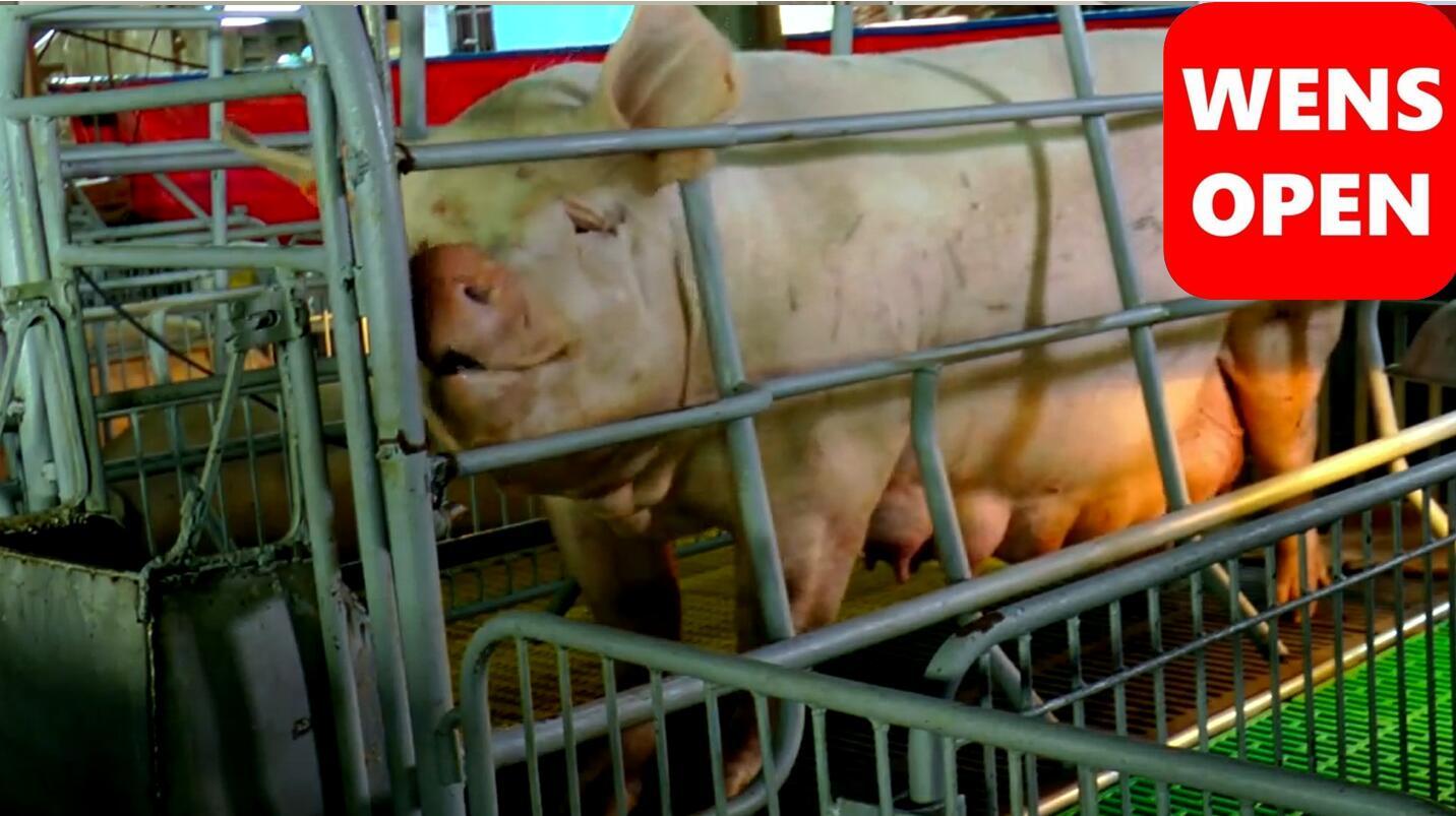 wensopen母猪妊娠期饲喂和分娩(中文字幕)
