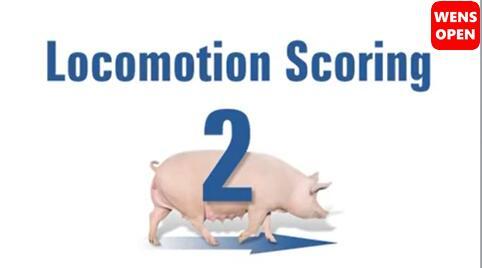 母猪运动障碍等级评分-2分