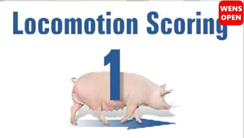 母猪运动障碍等级评分-1分