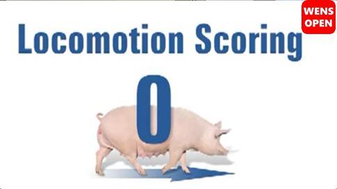 母猪运动障碍等级评分-0分
