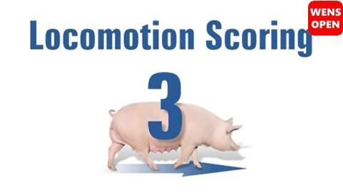 母猪运动障碍等级评分-3分