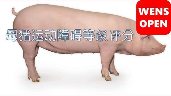 什么是母猪运动障碍等级评分?